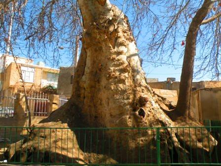 چنار دوهزار ساله تویسرکان یکی از کهن ترین درختان ایران است